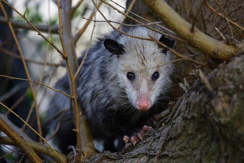 Wissenswertes über das Opossum - ein niedliches Beuteltier