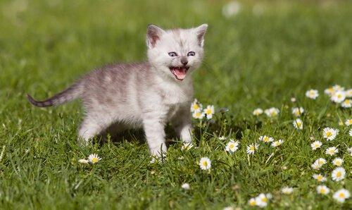 Alles über das Miauen der Katze