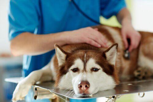 Behandlung von Hundestaupe