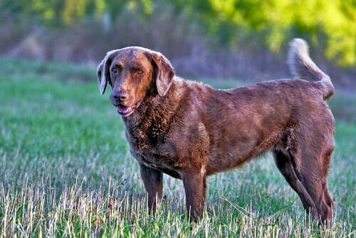Chesapeake Retriever