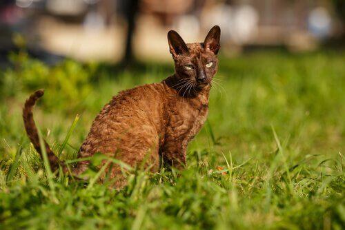 Cornish Rex Katze