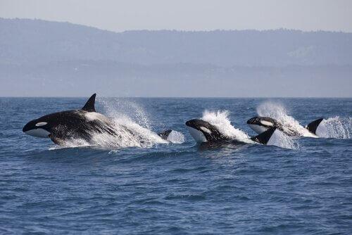 Daher wissen Delfine, wann die Orcas jagen