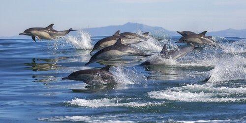 Delfine jagen in der Gruppe