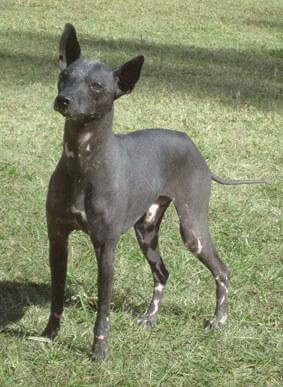 Der Argentinische Nackthund braucht viel Bewegung.