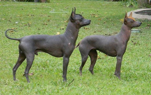 Der argentinische Nackthund, ein agiler Hund ohne Haare