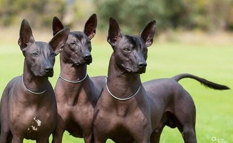 Der Argentinische Nackthund hat eine zarte Haut.