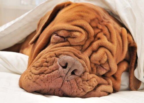 Faltiger Hund