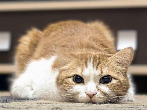 Wie kann man Fieber bei Katzen feststellen?