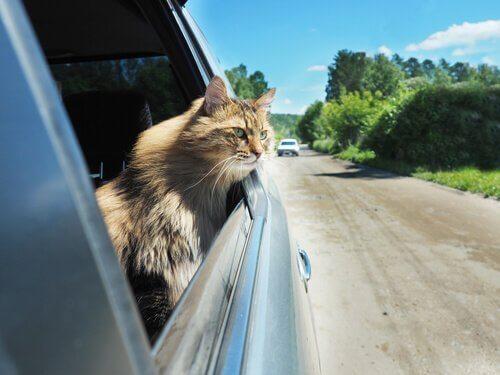 Gewöhnung an das Auto für Katzen