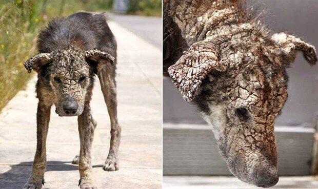 Hund mit Krätze