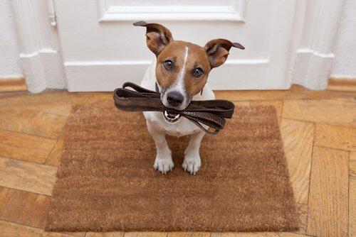Hund mit Leine im Maul möchte Gassi gehen