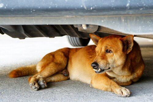 Hund will nicht ins Auto