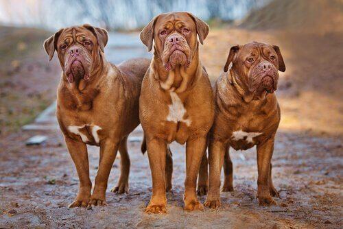 Hunderassen mit Falten: Bordeaux Dogge