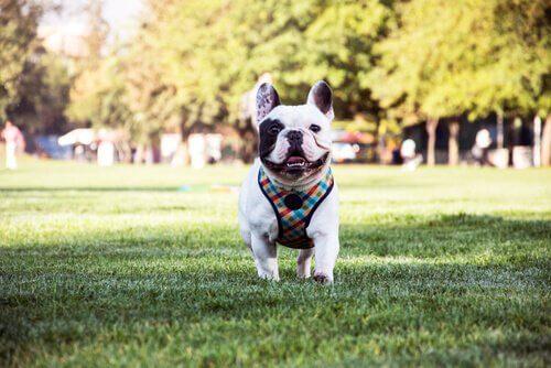 Hunderassen mit Falten: Französische Bulldogge