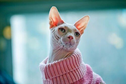 Möchtest du eine Katze, die kein Fell verliert?