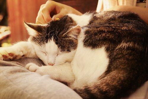 Katze schlummert auf dem Schoß ihres Menschen