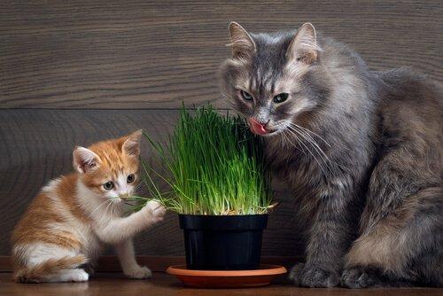 Katzen knabbern Katzengras