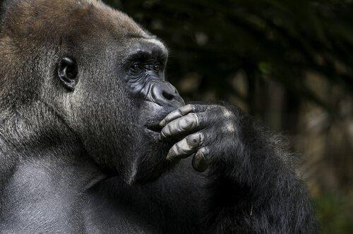 Koko war der intelligenteste bekannte Gorilla der Welt