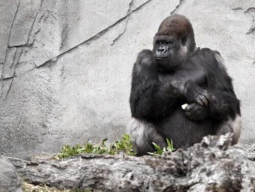 Koko, die sprechende Gorilladame, ist gestorben