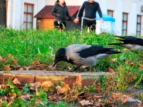 Die Krähe als Haustier: total verrückt?