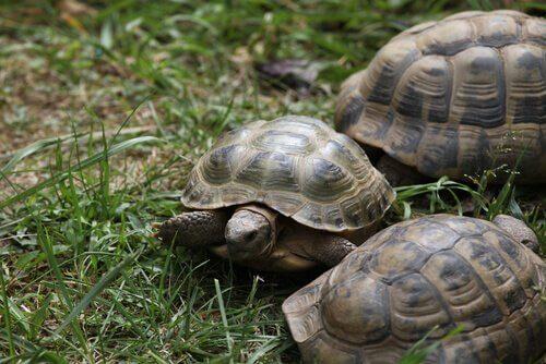 Landschildkröten auf dem Rasen