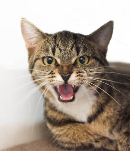 Miauen ist eines der Kommunikationsmittel der Katze