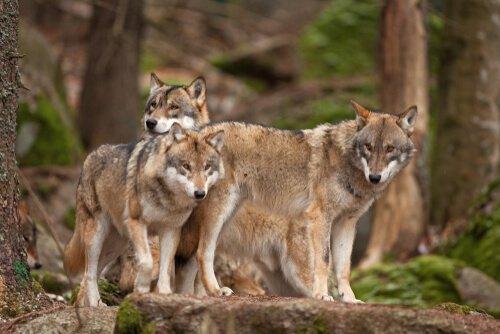 Monogame eurasische Wölfe