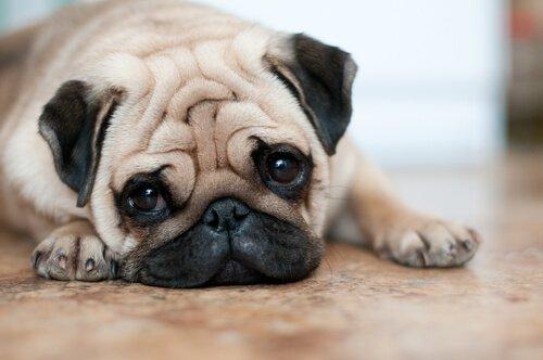 Besondere Pflege für Hunde mit Falten