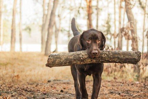 Lerne die Retrieverhunde kennen