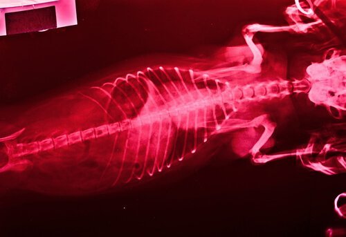 Röntgenbild eines Hundes