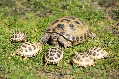 Schildkrötenmama mit Jungen