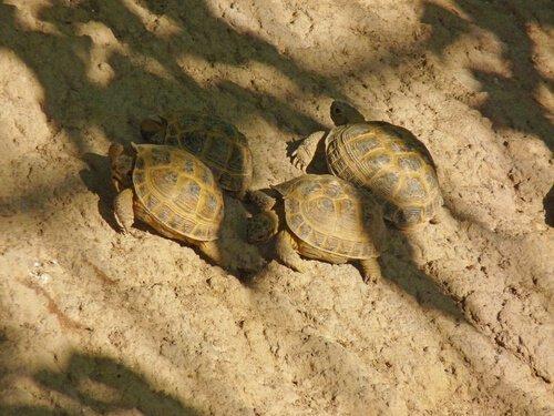 Kann man mehrere Steppenschildkröten halten?