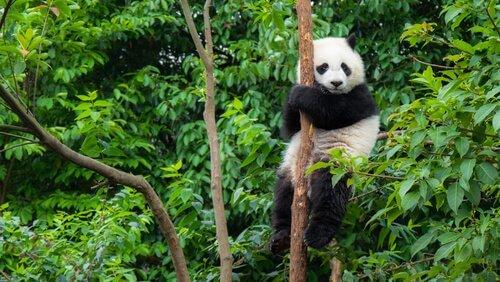 Tiere aus China: der Pandabär ist am bekanntesten.