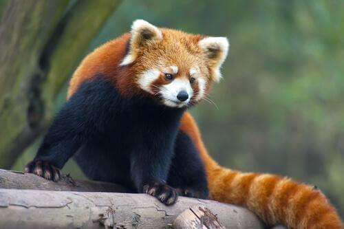 Tiere aus China: der Rote Panda ähnelt dem Waschbären.