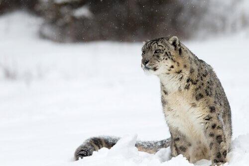 Tiere aus China: der Schneeleopard lebt in 6000 Metern Höhe.