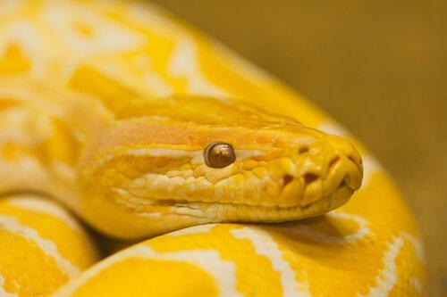 Tiere im Feng Shui, gelbe Schlange