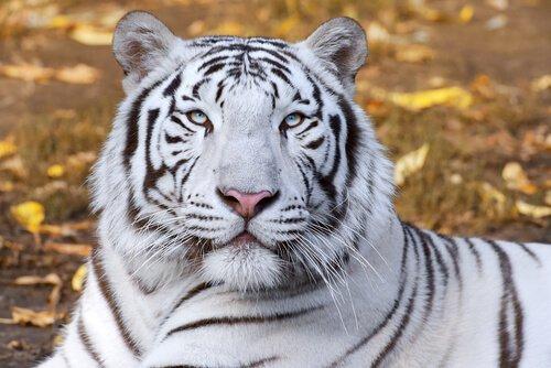 Tiere im Feng Shui, weißer Tiger