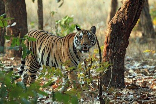 Unterarten der Tiger: Bengal-Tiger