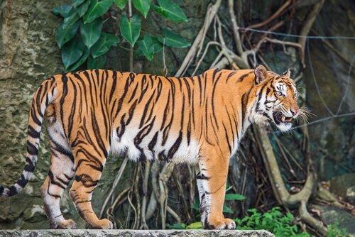 Unterarten der Tiger: Indochinesischer Tiger
