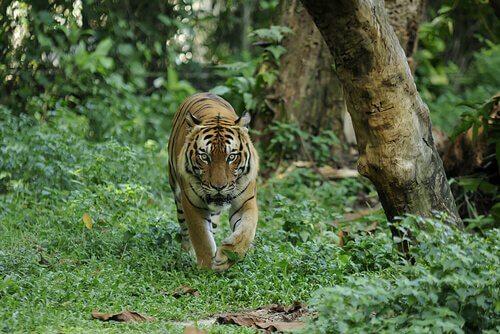 Unterarten des Tigers: Malaysia-Tiger