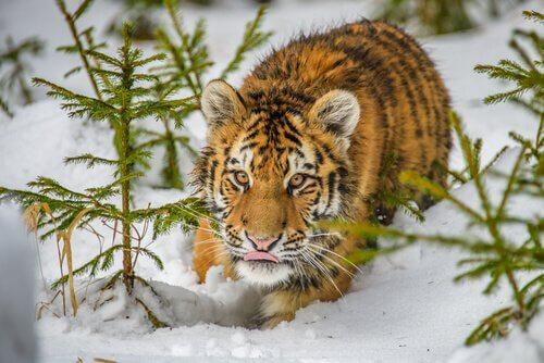 Unterarten der Tiger: Sibirischer Tiger