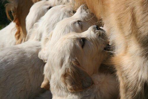 Welpen nähren sich mit Muttermilch