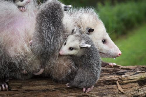 Wissenswertes über das Opossum: es ist ein Beuteltier.