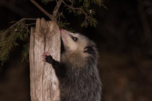 Wissenswertes über das Opossum: es kann sich tot stellen