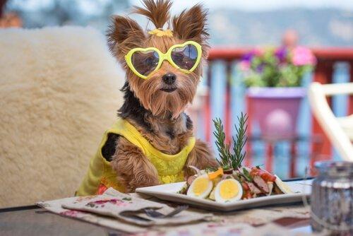 Yorkshire Terrier mit Salat