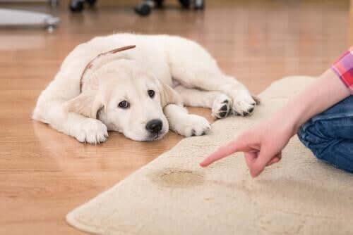 Hundetoilette - Hund vor Teppich mit Urinfleck