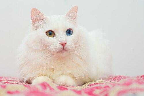 5 asiatische Katzenrassen: Angorakatze