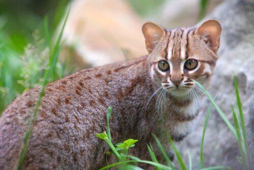 5 asiatische Katzenrassen: Ceylon-Katze