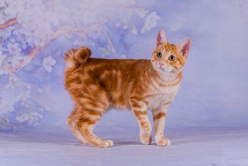 5 asiatische Katzenrassen: Japanese Bobtail
