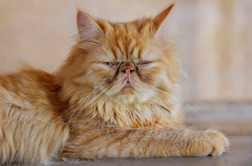 5 asiatische Katzenrassen: Perserkatze
